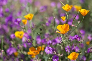 California_poppies-69