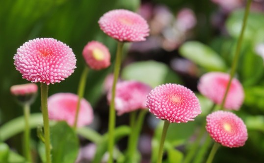 Bellis perennis 'Polar Pink' English Daisy