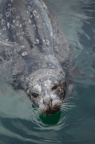 Harbor seal in Victoria BC
