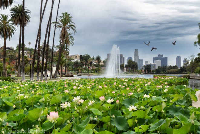 Echo Park Lake lotus with downtown LA