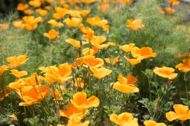 California poppy (Eschscholzia californica) in summer wildflower meadow