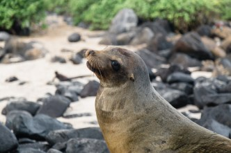 Wild sea lion on Espanola Island in Galapagos National Park