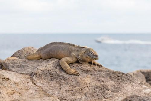 Wild iguana on Santa Fe Island, Ecuador
