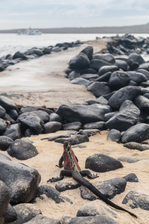 Colorful iguana on Espanola Island in Galapagos National Park