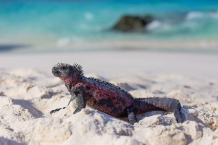 Galapagos Iguana on Gardner Beach Espanola Island