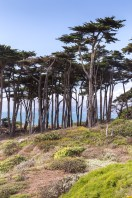 Point Lobos Cypress trees