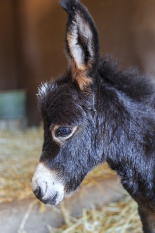 newborn mini donkey