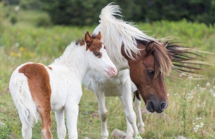pony mother and her foal