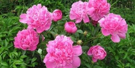 гороскоп цветов в ноябре-пион