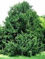 Хвойные растения для сада фото и названия - Низкорослые хвойные