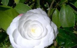 гороскоп цветов в октябре - камелия