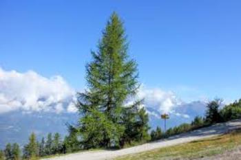 Лиственница - это хвойное дерево