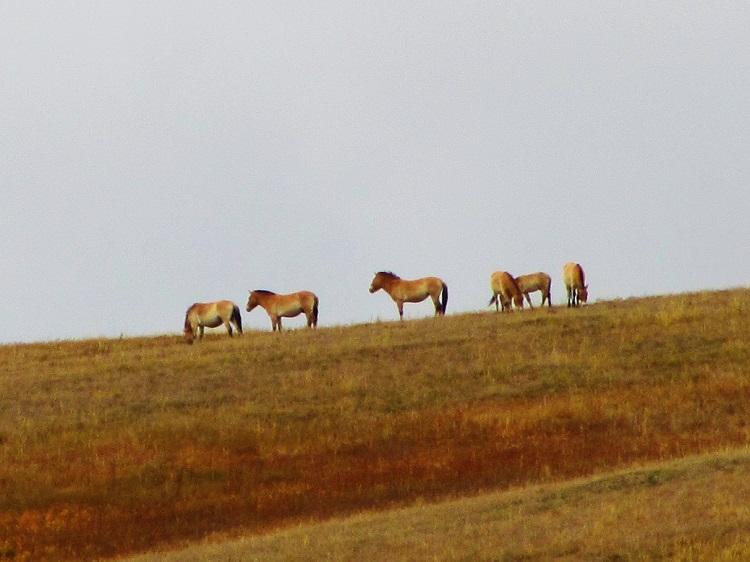 mongolia-6-hustai-np-horses