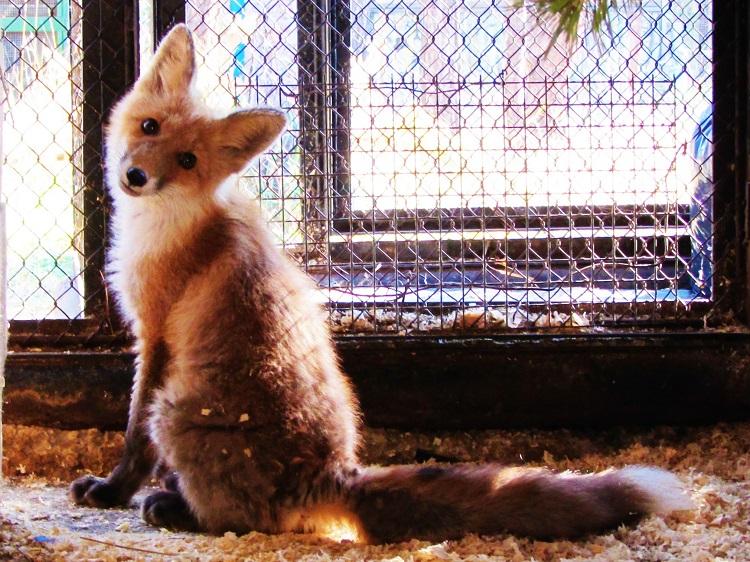 russia-yakutsk-zoo-fox