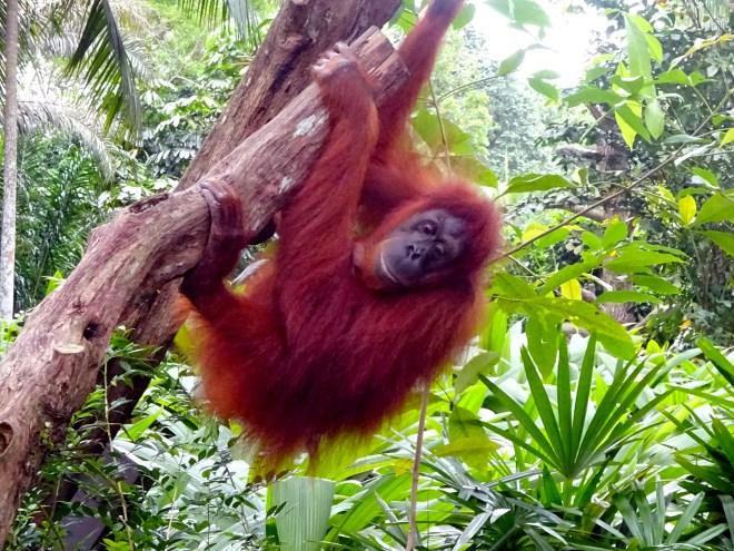 10 - Free range orangutans singapore zoo