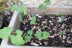 Grow What You Eat in Jamaica Part One