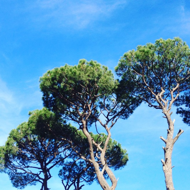 The pine trees of Lebanon