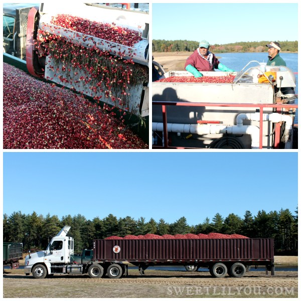 Harvesting Cranberry Harvest Celebration