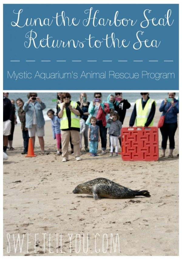 Luna the Harbor Seal Returns to the sea thanks to Mystic Aquarium's Animal Rescue Program