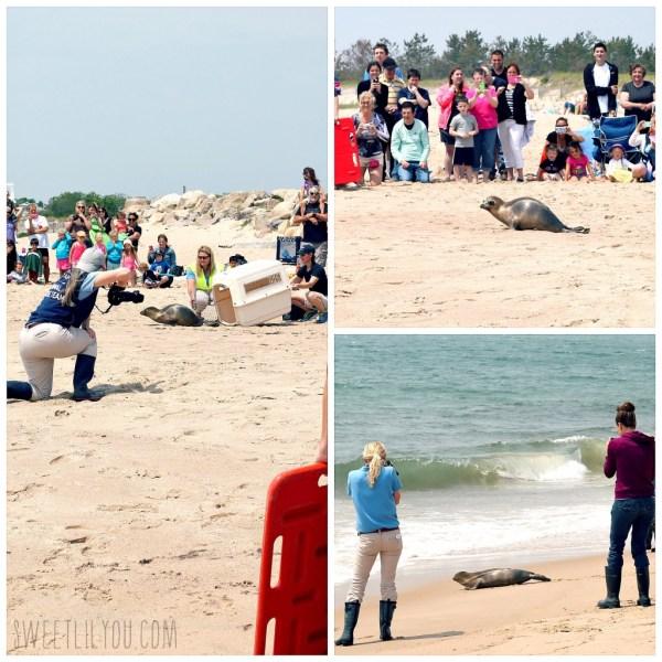 Seal Release Mystic Aquarium Rescue Team