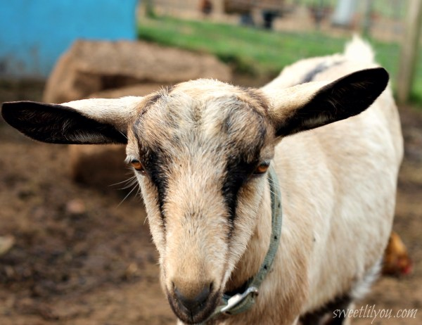 Goat Up Close