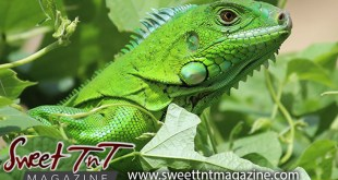 Iguana in Aranguez seim plant for Iguana in my mango tree story by Candida Khan in Sweet T&T, Sweet TnT, Trinidad and Tobago, Trini, vacation, travel