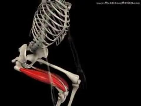 視覚的にスクワットで使う筋肉を理解しよう