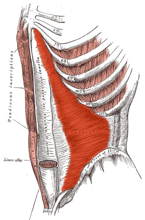 赤くなっているのが腹横筋。筋肉の繊維が横に走っている為収縮する事で、腹筋がしまります。