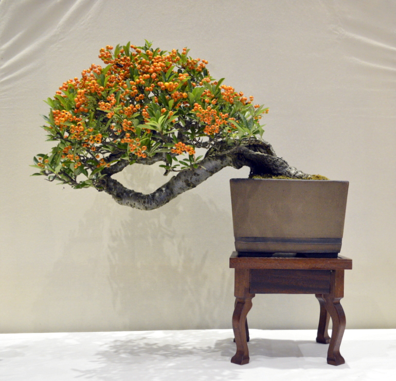 3rd place, Pyracantha