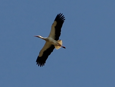 A stork flying over the van. At Silves, Portugal