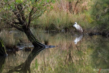 Royal Spoonbill at the pond next to the Learning Centre