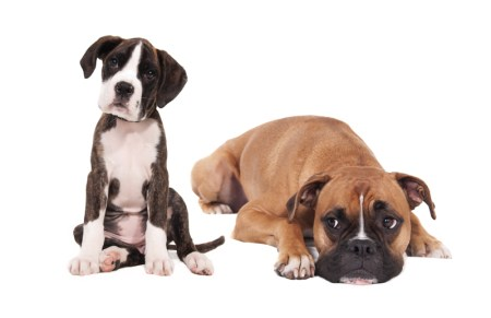 stockvault-boxer-dogs130869