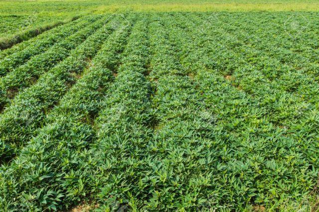 sweet potato crop grow in garden