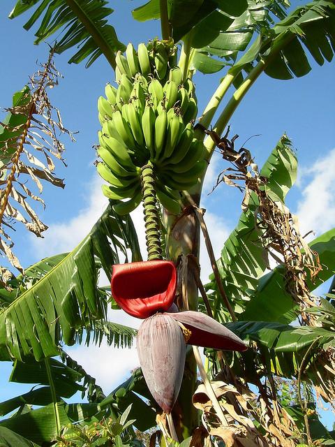 How To Grow A Banana Tree Belize Banana Apple Bananas