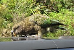 Kea mountain parrot attacking our car