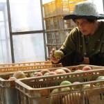 [桃太郎トマトの育て方]収獲を開始して売れないトマトの多さにびっくり!収穫時期は6月末から (3)