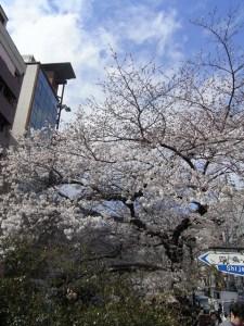 木屋町界隈の桜