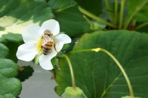 イチゴの受粉をする西洋ミツバチ