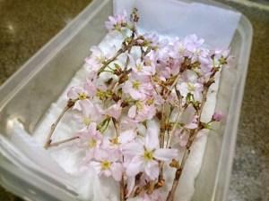 和本店長が、お花屋さんで調達してくれた桜の花です