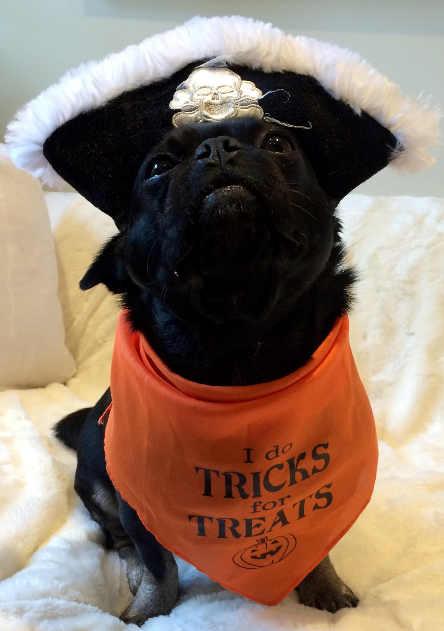 Particular Mypugnation Pugs Costumes Images Pugs Costumes Pugs Halloween Costumes What Should Your Pug Be bark post Pugs In Costumes