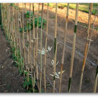 What's at Stake: Pole Beans Need Your Support