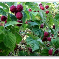 How to Prune Raspberries