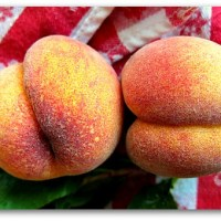 Growing Peach Trees Organically: Peach Leaf Curl Resistant Varieties I Grow