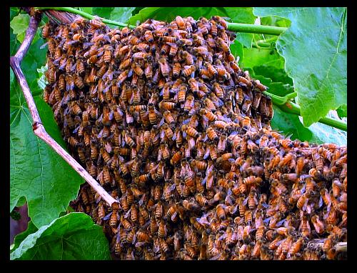 bee swarm honeybees