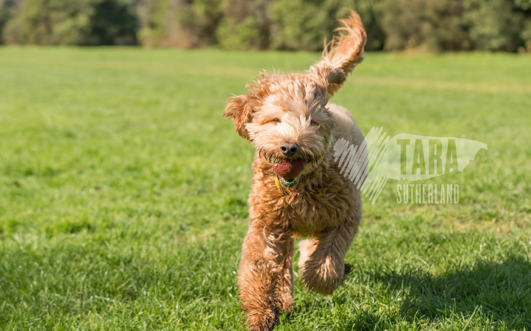 Want to see Rocco the Labradoodle fly?