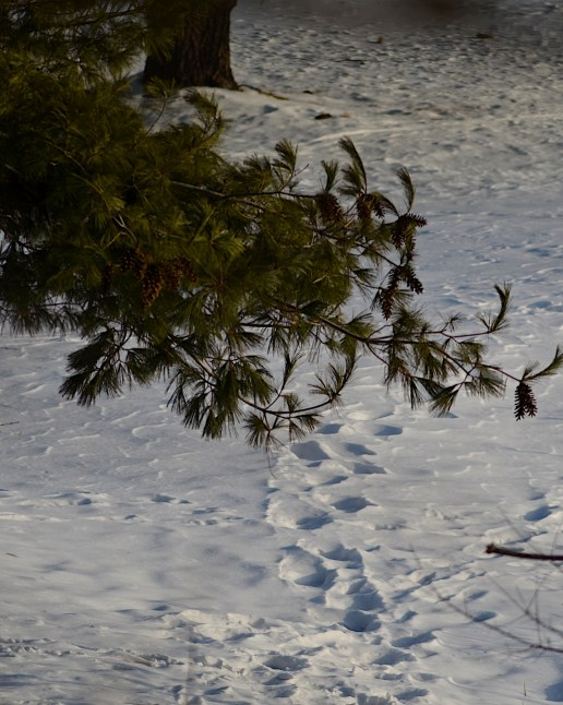 Some of the last footprints Mack left in the snow. They remained for over a week.