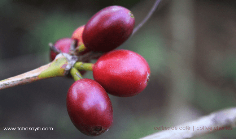 coffee-cherries-cerises-cafe-haiti