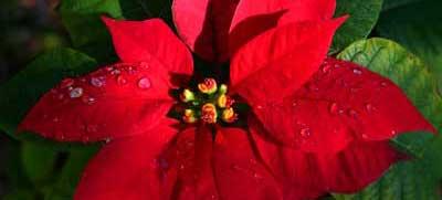 No tires tu flor de pascua prep rala para la pr xima - Que cuidados necesita la flor de pascua ...