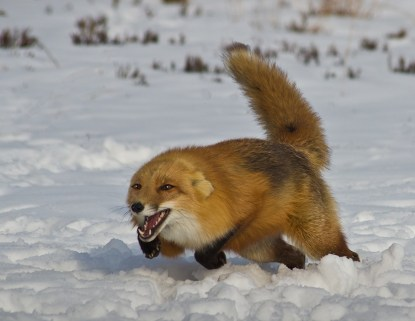 Angry fox charging