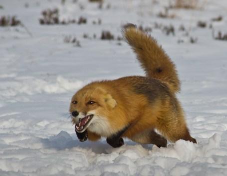 Angry fox charging